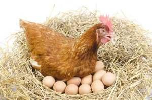 las-gallinas-ponen-huevos-todos-los-dias